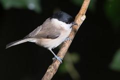 Marsh Tit-148 (davidgardiner8) Tags: birds eastsussex garden marshtit tits