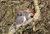Beauty or Pest ? (billywhiz07) Tags: grey squirrel countryside nature cute pest
