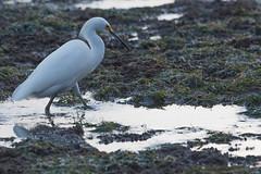 IMG_2904 (armadil) Tags: mavericks beach beaches californiabeaches bird birds egret snowyegret