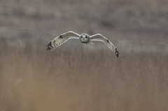 Short-eared Owl - Asio flammeus (AnthonyVanSchoor) Tags: shorteared owl asio flammeus birdofprey nikond7100 tamron150600mmtelephotolens restricted birding bird birdshare birdwatchingmagazine