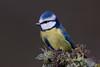 040.jpg (Kico Lopez) Tags: miño lugo aves feeder rio herrerillocomún birds cyanistescaeruleus galicia spain