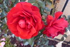 PRETTY RED ROSES (kelsey61 (OFF AND ON FOR A WHILE)) Tags: rose roses plant garden fleur flor