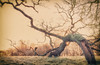 When the Bough Breaks (Mark Wasteney) Tags: tree oak stormdamage bough broken devon westcountry photostitch adobephotoshopelements flora nature landscape