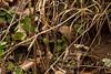 Hidden (RGaenssler) Tags: floraundfauna vögel zaunkönige sperlingsvögel wirbeltiere tiere troglodytes singvögel