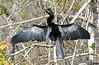 CAE008857a (jerryoldenettel) Tags: 180119 2018 anhinga anhingaanhingasuliformes anhingidae collierco fl monocots bird
