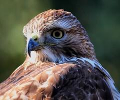 Red Tail Hawk (dianne_stankiewicz) Tags: hawk redtailhawk raptor nature wild coth5