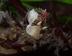 Phidiana feeding (Jalama) (Jeff Goddard 32) Tags: jalamabeach santabarbaracounty california lowtide macro underwater invertebrates nudibranchia nudibranchseaslugs aeolid hydroid plumularia