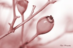 The Fruit of the Wild Rose... (Maria Godfrida (absent for a while)) Tags: macromondays monochrome pink nature plants rosehip macro closeup winter branch fruit thorns flora 7dwf