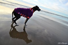 6.52.2018 THIS is what aging looks like (kmmorgan1977) Tags: 52weeksfordogs 52wfd 52wfd18 kkzsapachevegasrose greatdane olddogs aging sunsetbeach oregon winter 2018 dogs beach february