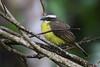 Social Flycatcher (Charadriimaniac) Tags: socialflycatcher flickr ecuador2017 provinciadenapo ecuador ec