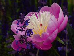 Out of My Way Skinny (Steve Taylor (Photography)) Tags: blue green pink mauve purple closeup macro uk gb england greatbritain unitedkingdom london flower elthampalace eltham voluptuous