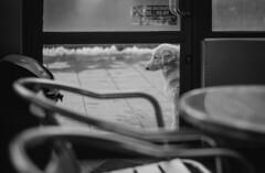 Breed...great-hearted (Pavel Valchev) Tags: lensturbo focal reducer 0726 mitakon zhongyi om zuiko autos 50mm a6300 nex ilce manual mf dof dog street sofia bulgaria