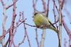 Di rosa e d'azzurro... (carlo612001) Tags: primavera uccelli natura gemme alberi trees spring birds nature cute colored