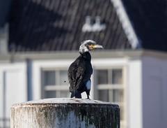 20180216-1427-43 (Don Oppedijk) Tags: vlietzorg spaarne haarlem nl aalscholver cormorant cffaa