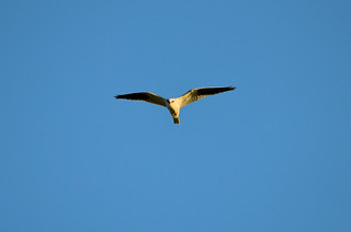 White-tailed Kite 0137