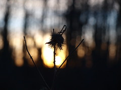 Sonnenuntergang (IS OZ Photo) Tags: sonnenuntergang sunset distel thistle silhouette dof depthoffield olympus zuiko e520 isoz macro makro verblüht faded bokeh pflanze plant nahaufnahme schärfentiefe backlight oly olympuse esystem 43 ft fourthirds dslr spiegelreflex brilliant composition gorgeous