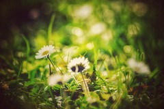 Recognize the little things as treasures of life... (***étoile filante***) Tags: daisy gänseblümchen blume flower wiese meadow natur nature poetic macro bokeh bokehlicious soul soulful emotions moments liebe love leben life augenblick blumen flowers plant gras grass licht light