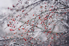 (Alin B.) Tags: alinbrotea nature winter iarna snow ice cold frozen december january berry tree branch snowy