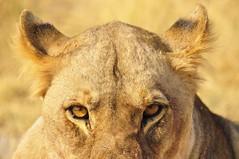 Menacing Fury, Etosha National Park, Namibia (Poulomee Basu) Tags: nikon safarilovers safari adventure namibia africa etosha lioness lion bigcat tranquil beauty wildlifephotographer wildlifephotography wildlife wild