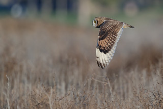 Short-eared Owl side view
