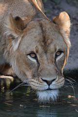 Kianga @ Artis 27-03-2017 (Maxime de Boer) Tags: kianga african lion lioness afrikaanse leeuw leeuwin panthera leo big cats katachtigen natura artis magistra zoo amsterdam animals dieren dierentuin gods creation schepping creator schepper genesis