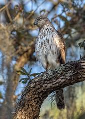 Cooper's Hawk (PeterBrannon) Tags: accipitercooperii bird coop coopershawk d850 florida hawk hunter nature oak wildlife