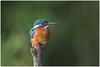 Common Kingfisher (female) - IJsvogel (vrouw) (Alcedo atthis) ... (Martha de Jong-Lantink) Tags: 2017 alcedoatthis commonkingfisherfemale eisvogel ijsvogelvrouw ijsvogelhutderuigehof ijsvogels isfugl kungsfiskare martinpescatore martinpêcheurdeurope martínpescador