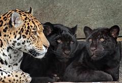 jaguar artis BB2A8671 (j.a.kok) Tags: jaguar jaguarcub jaguarwelp pantheraonca zwartejaguar blackjaguar rica artis animal southamerica zuidamerika mammal zoogdier dier kat cat predator