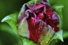 MICRO_FLOWER_SUPER_MACRO_&_BOKEH (paulomarquesfotografia) Tags: paulo marques sony a7 super macro bokeh reverse lents lente invertida ashi pentaxm f17 50mm flor flower colors dof