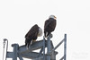 Pair of Eagles hangs out with the firefighters (TonysTakes) Tags: eagle baldeagle raptor bird wildlife colorado coloradowildlife weldcounty