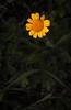 "SDIM5844- ""Gennaio""- voigtlander apo skopar 88mm f8 (ciro.pane) Tags: sigma sd1 merrill foveon promontorio punta campanella italia italy italien italie camomilla tintori cotatinctoria gennaio fioritura anticipata temperatura alta voigtlander aposkopar 88mm f8 colori plasticità software hasselbladphocus"