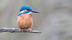 Kingfisher- ijsvogel (Wim Boon (wimzilver)) Tags: wimboon alblasserwaard vogel vogels vogelhut holland nederland netherlands canon300mmf4lis14ex canoneos80d ijsvogel natuur nature
