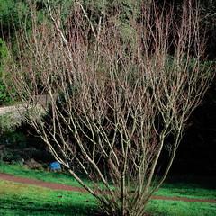 J20160126-0001—Salix lutea—RPBG—DxO (John Rusk) Tags: dxofujivelvia50preset ebparkok taxonomy:kingdom=plantae plantae taxonomy:subkingdom=tracheophyta tracheophyta taxonomy:phylum=magnoliophyta magnoliophyta taxonomy:class=magnoliopsida magnoliopsida taxonomy:order=malpighiales malpighiales taxonomy:family=salicaceae salicaceae taxonomy:genus=salix salix taxonomy:species=lutea taxonomy:binomial=salixlutea salixlutea yellowwillow taxonomy:common=yellowwillow