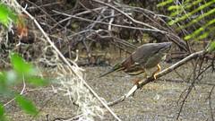 Green Heron (YoungSue) Tags: heron greenheron
