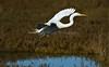 HaywardRegional_021018_267 (kwongphotography) Tags: hayward ca calif wildlife wildlifephotography nature naturephotography birds birdphotography greategret egret ornithology birdwatching birdlovers haywardregionalshoreline eastbayregionalparks birdsinflight unitedstates
