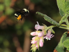 Bombus_at_ribes_5364a (JKehoe_Photos) Tags: yellowfacedbumblebee chaparralcurrant ribesmalvaceum bee pollen pollinatorbee ulistacnaturalarea unarep plant flower blossom macro santaclaracounty johnjkehoephotography outdoors park bombus