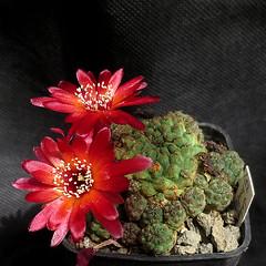 Sulcorebutia pulchra WR593 '422' (Pequenos Electrodomésticos) Tags: cactus cacto flower flor sulcorebutia sulcorebutiapulchrawr593