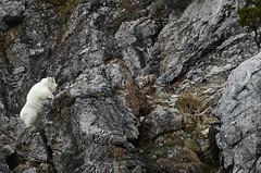 High Climber - Mountain Goat Rock Climbing - 4635b+ (teagden) Tags: mountain goat mountaingoat climbing climb highclimber jenniferhall jenhall jenhallphotography jenhallwildlifephotography wildlifephotography wildlife nature naturephotography photography wild nikon wyoming wyomingwildlife rocks mountainside mountains rockclimber