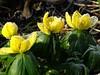 Frost auf Winterlingen (dorisgoebel) Tags: winter blumen flower blüten blossom gelb yellow natur
