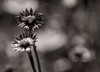 ..she sensed she had found her tribe.. (dawn.tranter) Tags: dawntranter monochrome flowers home tribe bokeh macro