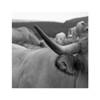 Aubrac (Yvan LEMEUR) Tags: aubrac vache corne elevage animal bovin pastoralisme troupeau