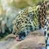 looks tasty (Paul Wrights Reserved) Tags: lick licking portrait close up closeup whiskers ears nose bokeh leopard
