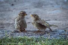 20180108-184642 (carlosgera) Tags: sparrows gorriones birds aves colonia coloniadelsacramento uruguay