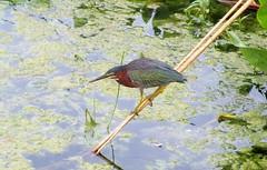 Butorides viriscens --  Green Heron 8083 (Tangled Bank) Tags: wild nature natral park area preserve palm beach county florida wetland wetlands wet lan lands land butorides viriscens green heron 8083