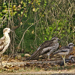 H3 the Curlew and family thumbnail
