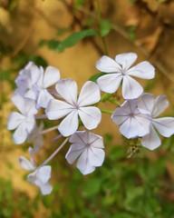 Jasmine flowers .. Amman (Zaid Horani) Tags: jasmine flower flowers amman jordan zaidhorani زيدالحوراني