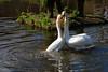 ArnoldBuijsDSC10754 (Harnoldavidson) Tags: animal dieren matingritual paringsritueel swan zwaan