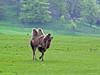 Camel Longleat (Cornishcarolin. Rest in Peace Mum xxx) Tags: wiltshire httpswwwlongleatcouk camels animal nature