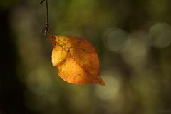 葉っぱ a leaf (takapata) Tags: sony sel90m28g ilce7m2 macro nature