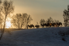 2 Humps Camels (furbs01 Thanks for 5,500,000 + views 2 July 2018) Tags: camels winter snow ice landscape china